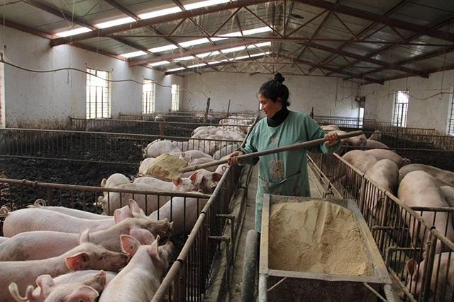 农村养殖小技巧:后备母猪不发情怎么办?