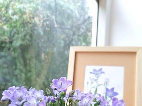 风铃草冬天也能开,放在阳台上,多晒太阳,小紫花呼呼开不停