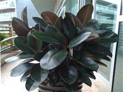 家里养橡皮树,掌握几个要点,蹭蹭冒新芽,叶片肥又绿!