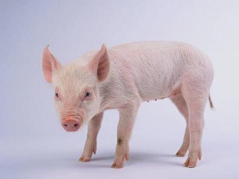 中国养猪网01月22日仔猪每日报价(20公斤、15公斤、10公斤)