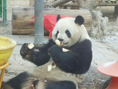 北京:腊八节,动物园内大熊猫边吃边玩,惬意过冬!