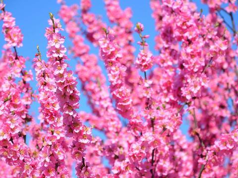 粉色的桃花,原创拍摄