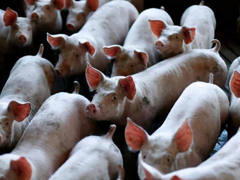农村养殖小技巧:猪瘟有哪些症状?得了猪瘟怎么治疗?
