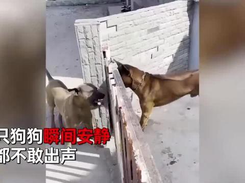 两只狗隔着铁栅栏吵架,栅栏被移开后,两只狗子的反应太好笑