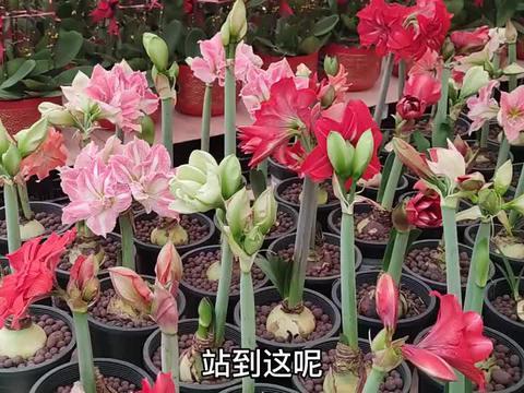 年底了蝴蝶兰和大花蕙兰大量上市,颜值太高了,一大片真好看!