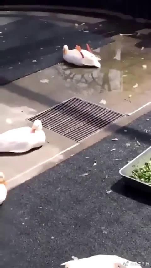 太冷漠了,鸭子摔倒了就没人扶吗???