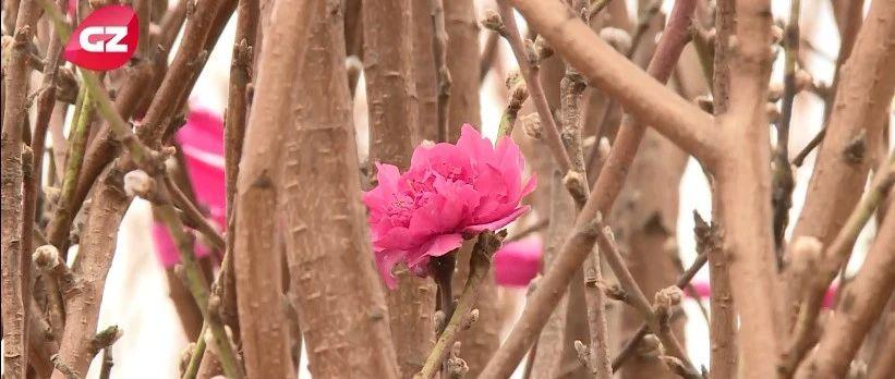 春暖花开 G4新春助农:满眼桃花 望解满心忧愁