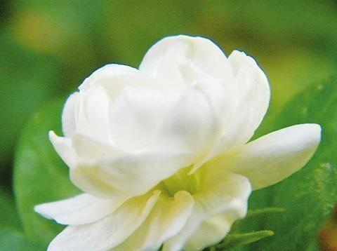 心理测验:4朵茉莉花你喜欢哪个,测你在爱情里会有什么损失!