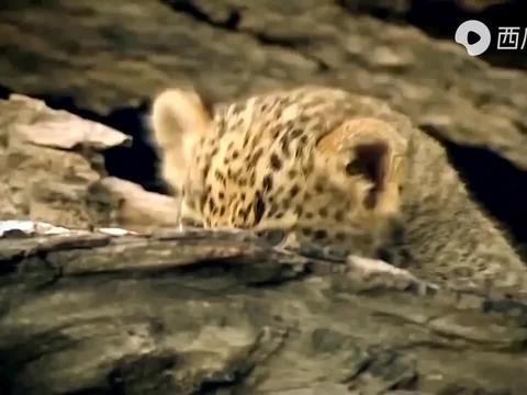 """倒霉的豹子,好不容易追上长角羚却被当""""球""""顶,另一只瑟瑟发抖"""