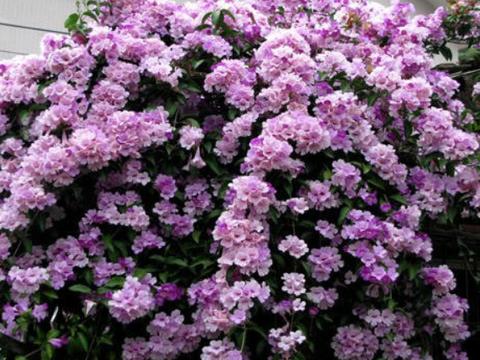 """6种真正的爬藤花,不用人为干预,浇点水肥就长,1年变""""花墙"""""""