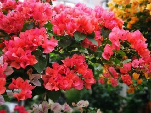 几种花养家里,绽放漂亮花朵,特别好养,开花一茬又一茬!