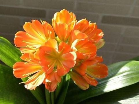 了解了这种方法,君子兰开花再也不用靠运气,一盆一盆地开花