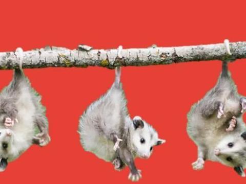 长达14个小时,世上交配时间最长的动物,科学家:战斗到最后一刻