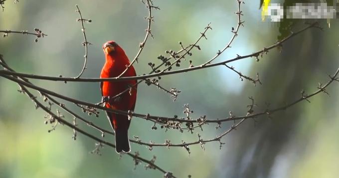 云南德宏现罕见鸟类血雀,通体鲜红!网友直呼太漂亮