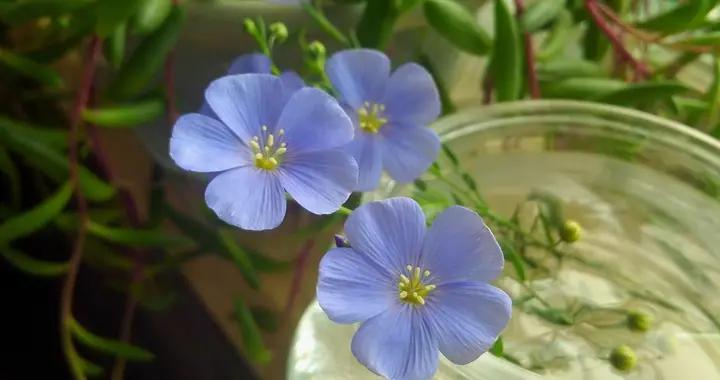 娇小蓝色小花,观赏价值高,蓝花亚麻真不错,着手养一盆吧