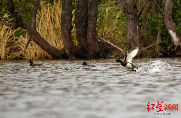 极危珍稀水鸟来了!青头潜鸭再次现身西昌邛海国家湿地公园