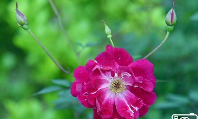 蔷薇花娇艳的迷人之美,绿叶中玫红色的花朵特漂亮,美如玫瑰