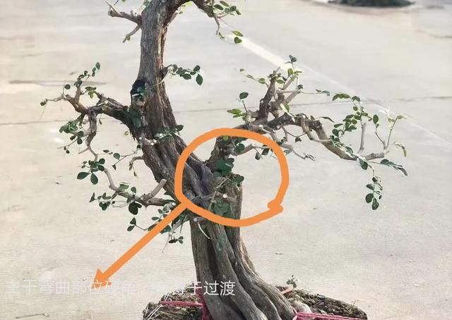 创作盆景,能否传世成为精品,关键是选择的树桩质量