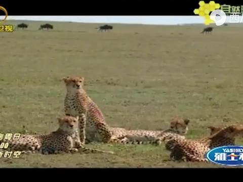 公猎豹咬住母猎豹的颈,准备交配了,摄像机拍下这一幕!