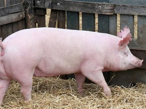 邵阳新建投资1亿的养殖项目,主要产品为繁殖母猪和猪仔