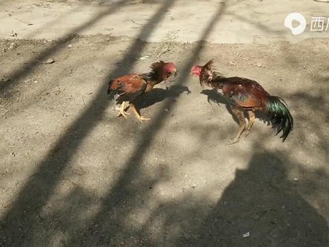 农村小妹养殖斗鸡,母鸡毛对战老虎毛,大家看看谁功夫更全面一点