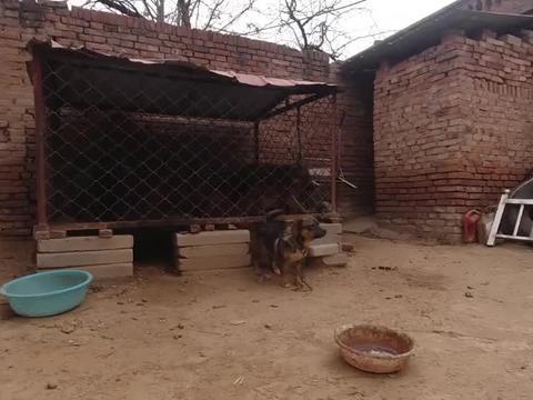 邻居三只狗每天嗷嗷叫,东哥实在有的受不,带杜高团灭它们