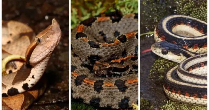 新研究发现蛇类性染色体更关乎生存 而非性别