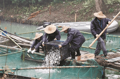 借助自然力量修复生态 十万尾小鱼入西溪