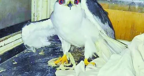老鹰翅膀和脖子被网缠住受伤 获热心市民救助