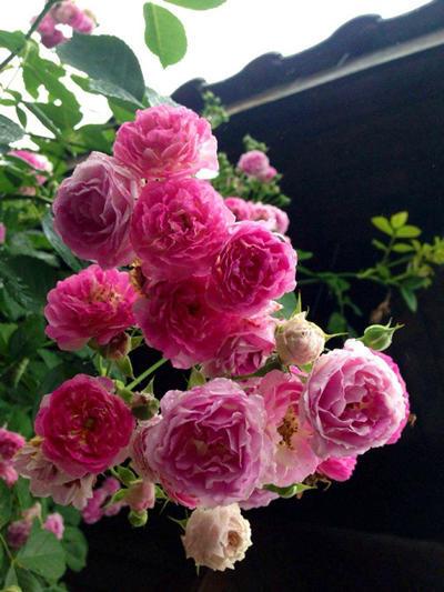 蔷薇花颜色多,爱攀爬,想养在院子里!