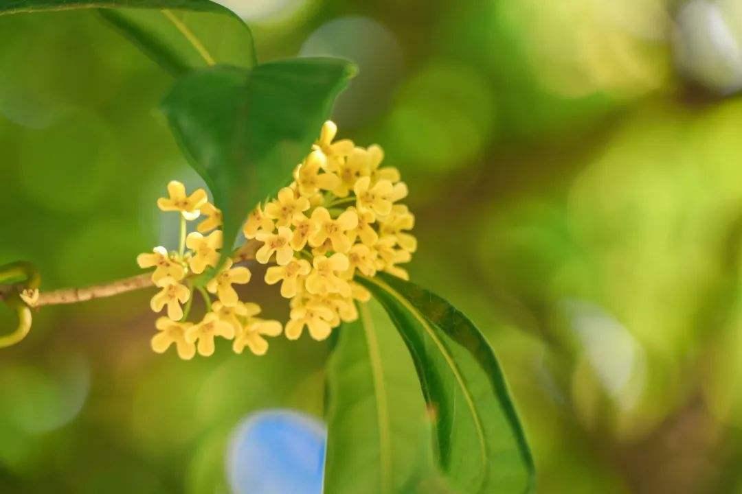 十月桂花香,桂花树多开花的方法!