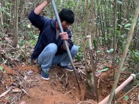 小伙挖这棵几十年的树桩,你们看看值多少钱呢