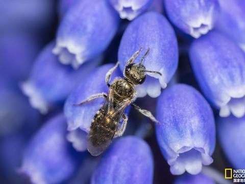 野生蜂大幅减少,未来人类粮食安全或将面临威胁