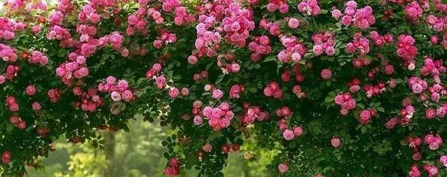几种花耐阴爱爬藤,半年爬满窗,长成植物墙,养起来太省心!