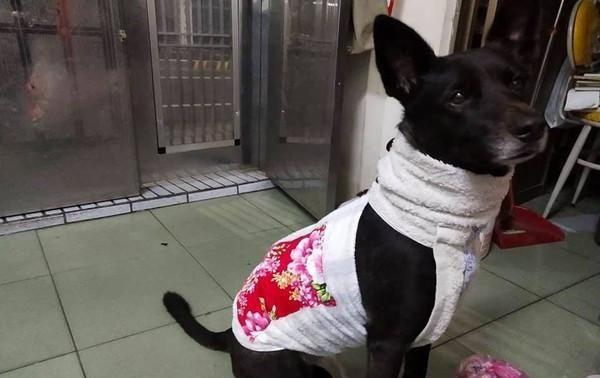 妈怕爱犬冷,为它穿上特制毛料旗袍,走在路上成为众人焦点!