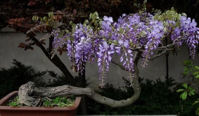 有1种爬藤花,它不怕冷,春季开花超漂亮!