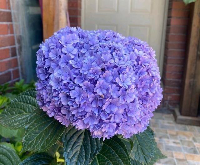 室内养护的绣球花盆栽还没到春天就长新芽,可以施肥了吗?