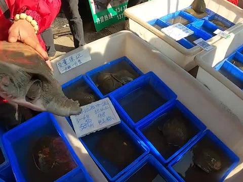 乌龟市场,甲鱼30一斤和120一斤有什么区别?老板现场演示!
