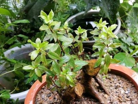 适合做盆景的几种植物,花很少的钱买回家,修修剪剪,养成盆景