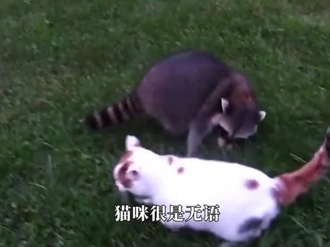 浣熊玩耍时偶遇小老虎,接下来浣熊的反应,憋住别笑!