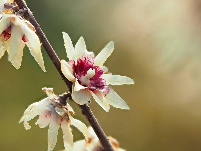 """腊梅不是""""梅花"""",刚买的盆栽或盆景要处理,避免掉花苞"""