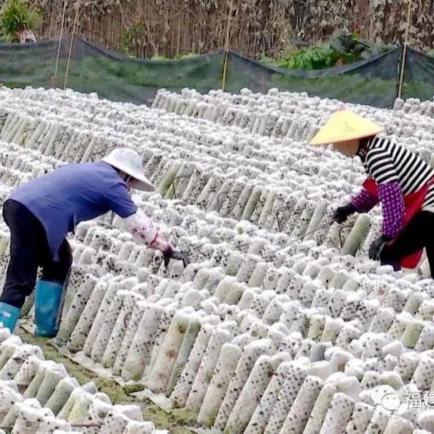 尤溪农户这样种植,不愁销路……