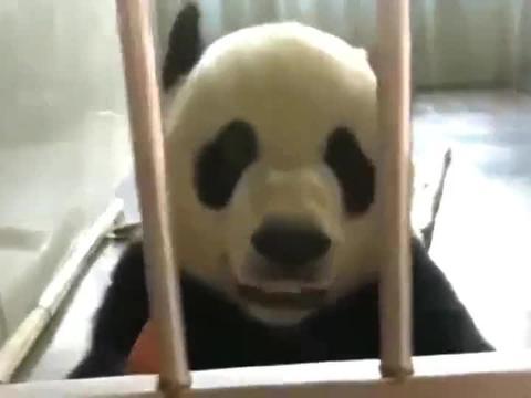 大熊猫金虎自言自语,头顶着胡萝卜真是太可爱啦!