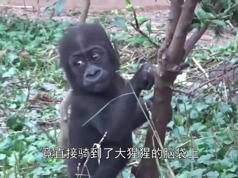 大猩猩过生日, 饲养员送给它6只小猫咪, 从此猩猩开启了撸猫生涯