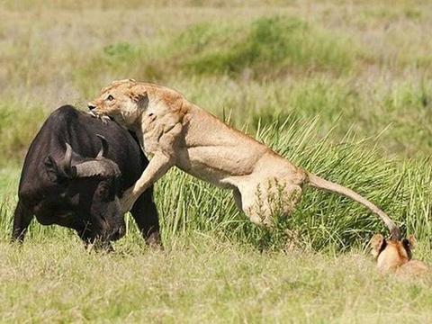 在牛屁股上画眼睛,狮子就不敢捕杀了,这是什么原理?