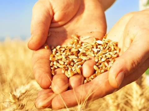 27日三大主粮价格:玉米止涨,小麦下跌,稻谷却突然火爆了起来