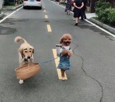 主人带金毛和泰迪去买菜,路人看到狗狗造型哈哈大笑,纷纷拍照