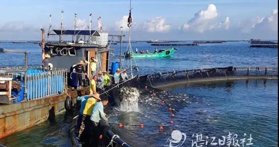"""积极申报""""中国金鲳鱼之都""""称号!湛江金鲳鱼产业高速发展,省政协委员提了个好建议"""
