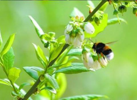 蓝莓授粉丨胖胖的熊蜂身手不凡