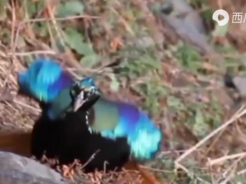 各种奇葩鸟类跳舞合集,跳舞鸟儿是认真的